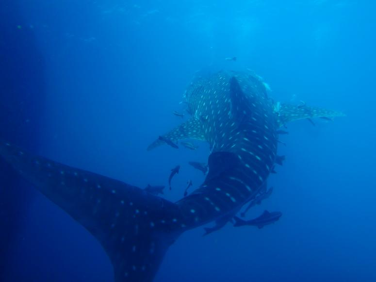 Whale Shark at Sail Rock