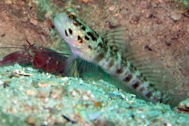 Ventral-Barred Shrimpgoby with Pistol Shrimp at Mae Haad, Koh Phangan