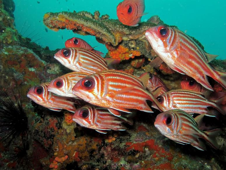 Red-Coat Squirrelfish at Sail Rock