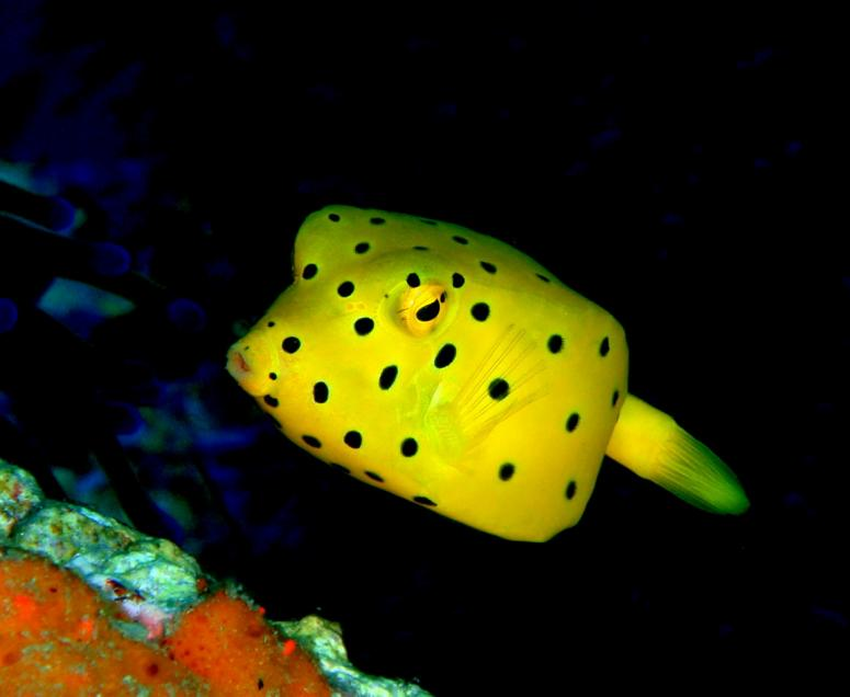 Juvenile Yellow Boxfish at Sail Rock