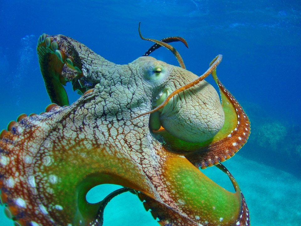 Octopus closeup