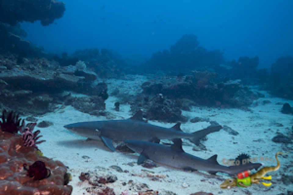 Whitetip reef sharks in Tanjung Sari dive site, Padang Bai