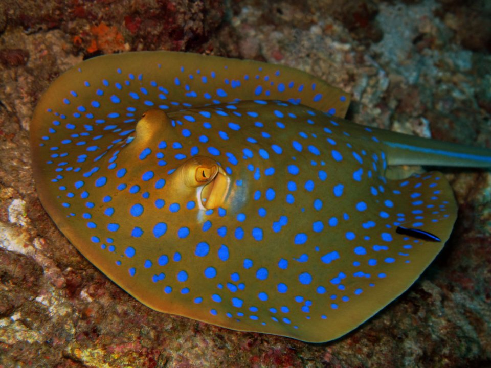 bluespotted sting ray