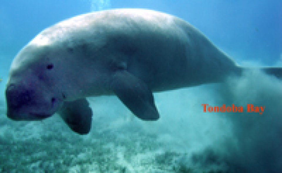 Dugong on the House Reef