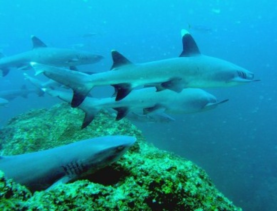 white tip reef sharks on every dive