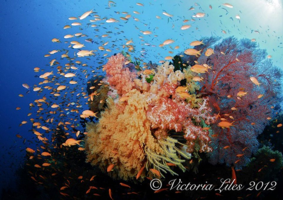 Soft corals at Mellow Yellow - Bligh Water Fiji with Dive Wananavu Fiji