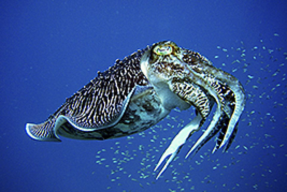Reef Cuttlefish - mating season Feb-Mar