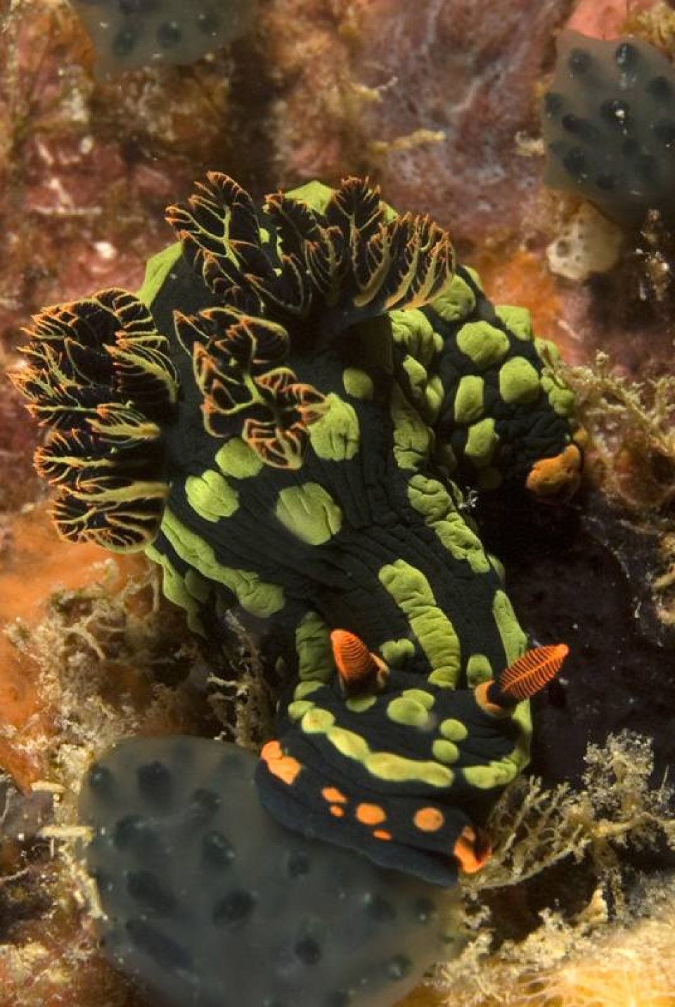 Tioman is heaven for Nudibranch lovers