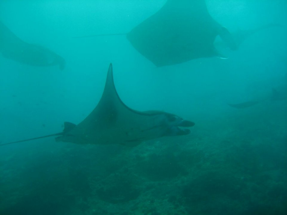 Manta Mania at Manta Point (Nusa Penida) - one of our frequent dive sites_diving.de diving CANDIDASA tauchen tauchschule bali candidasa indonesien