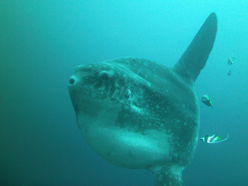 Ocean Sunfish - or Mola Mola - are frequently seen at Gili Mimpang and Gili Tepekong, just minutes away from our dive centre at diving CANDIDASA diving.DE tauchen tauchschule bali candidasa indonesien