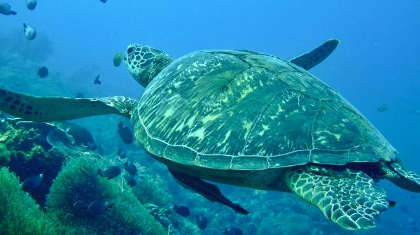 Turtle with Spindfrift Reefs