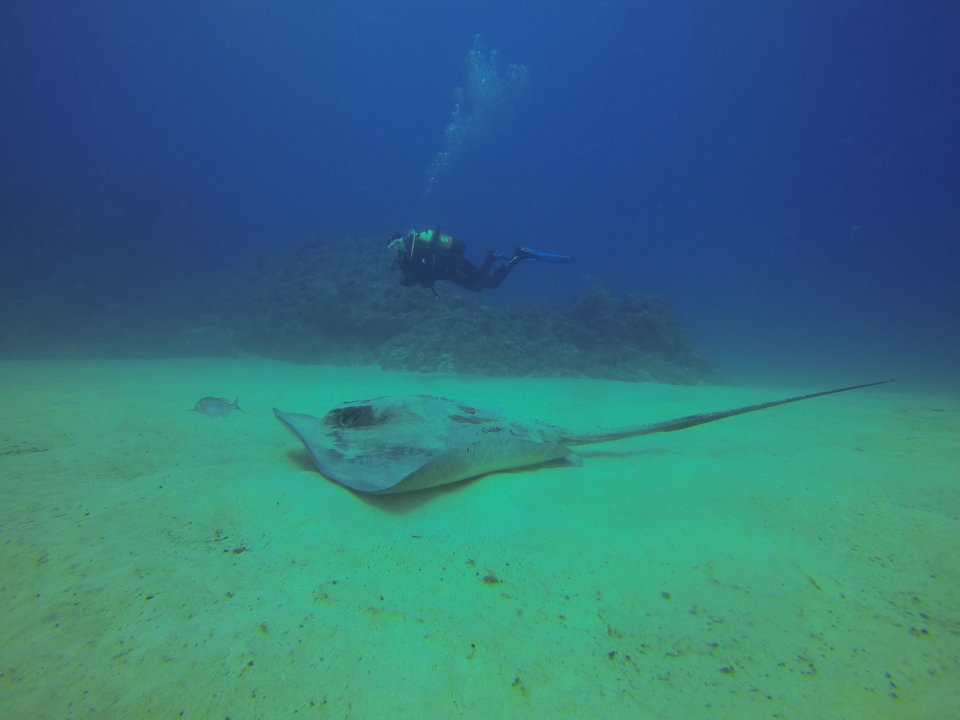 Huge ray and a Northdiving Lanzarote guest at