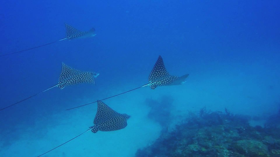 Dive Carriacou Eagle Rays