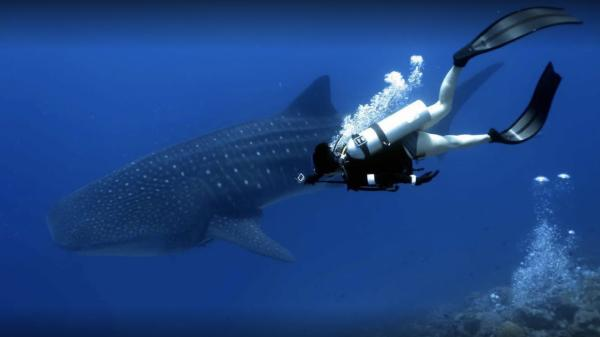 Fuvahmulah Tiger Shark Dive