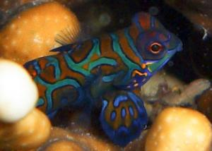 Mandarin Fish in Mabul Reef