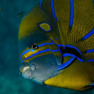 The beautiful Angelfish