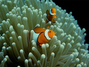 Clownfishes are everywhere around Perhentian Islands