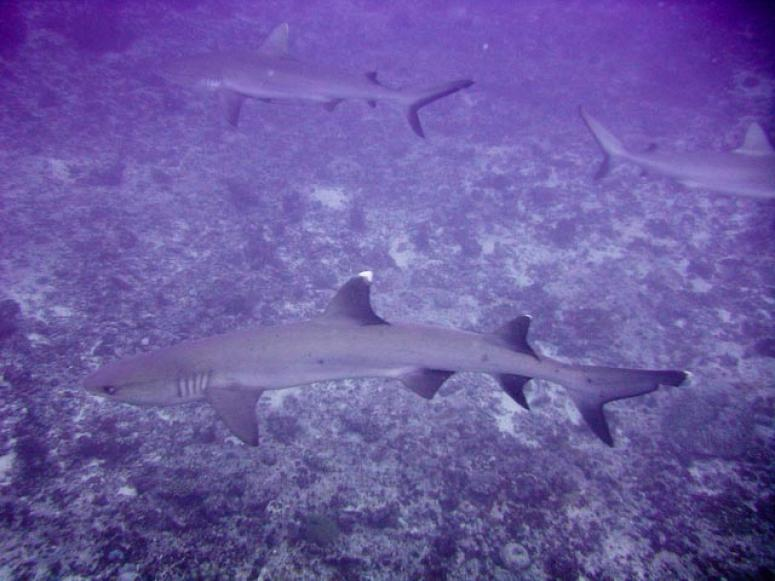 School of white tip sharks