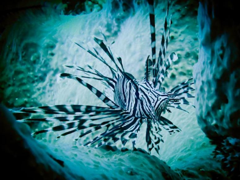Lionfish in castle rock