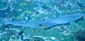 Sharks in Batu Bolong