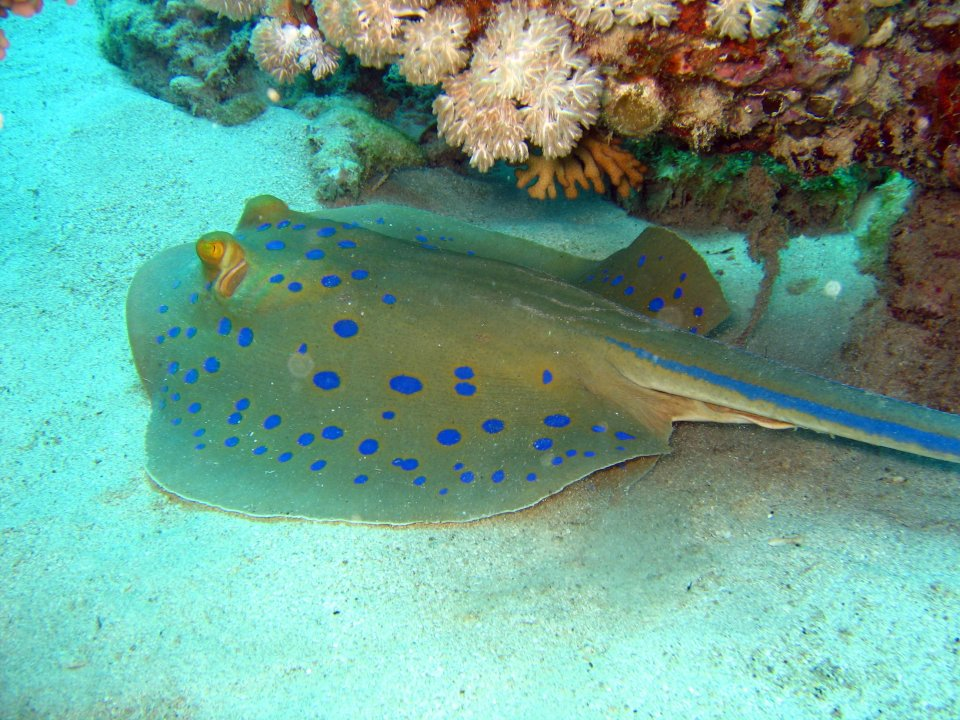 Blue Spotted Ray by Pharaoh Dive Club