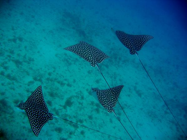 School of Eagle Rays