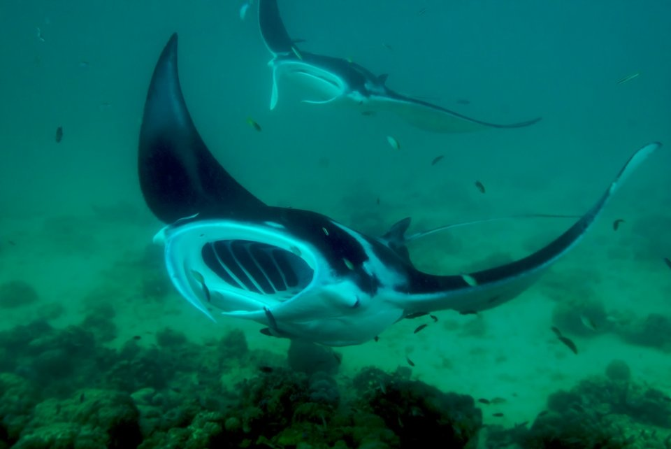 Swooping Manta Rays