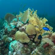 Angelfish Reef – Norman Island