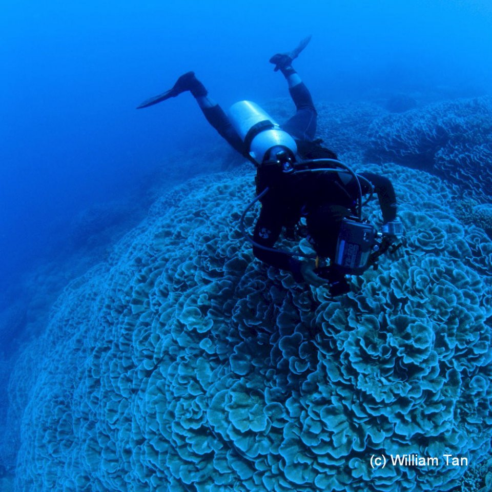 Diver hovers over Cabbage Coral at Sunken Island
