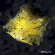 Cowfish at Fallen Rock Gorontalo