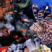 Lion fish in Jackson reef Sharm el sheikh