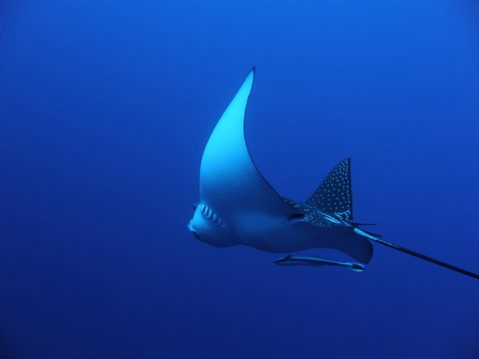 Eagle ray in the blue ( Thomas reef Sharm el sheikh )