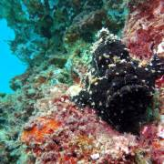black frog fish at wreck taliarte