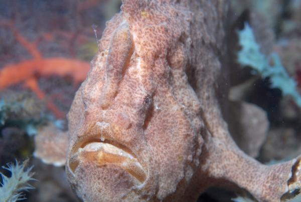 Frogfish at the Cliff Wall