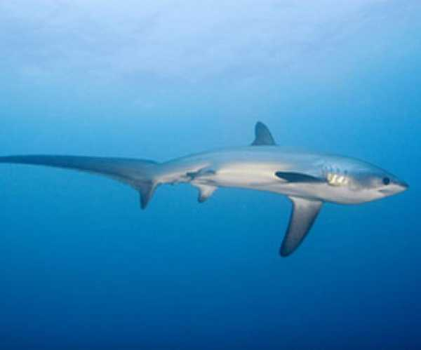 Thresher Shark, Malapascua Island