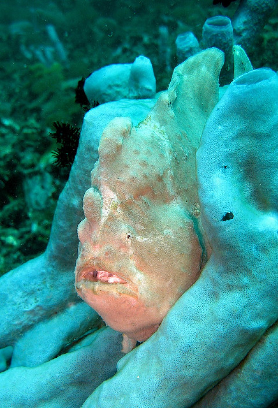 frog fish in between sponges