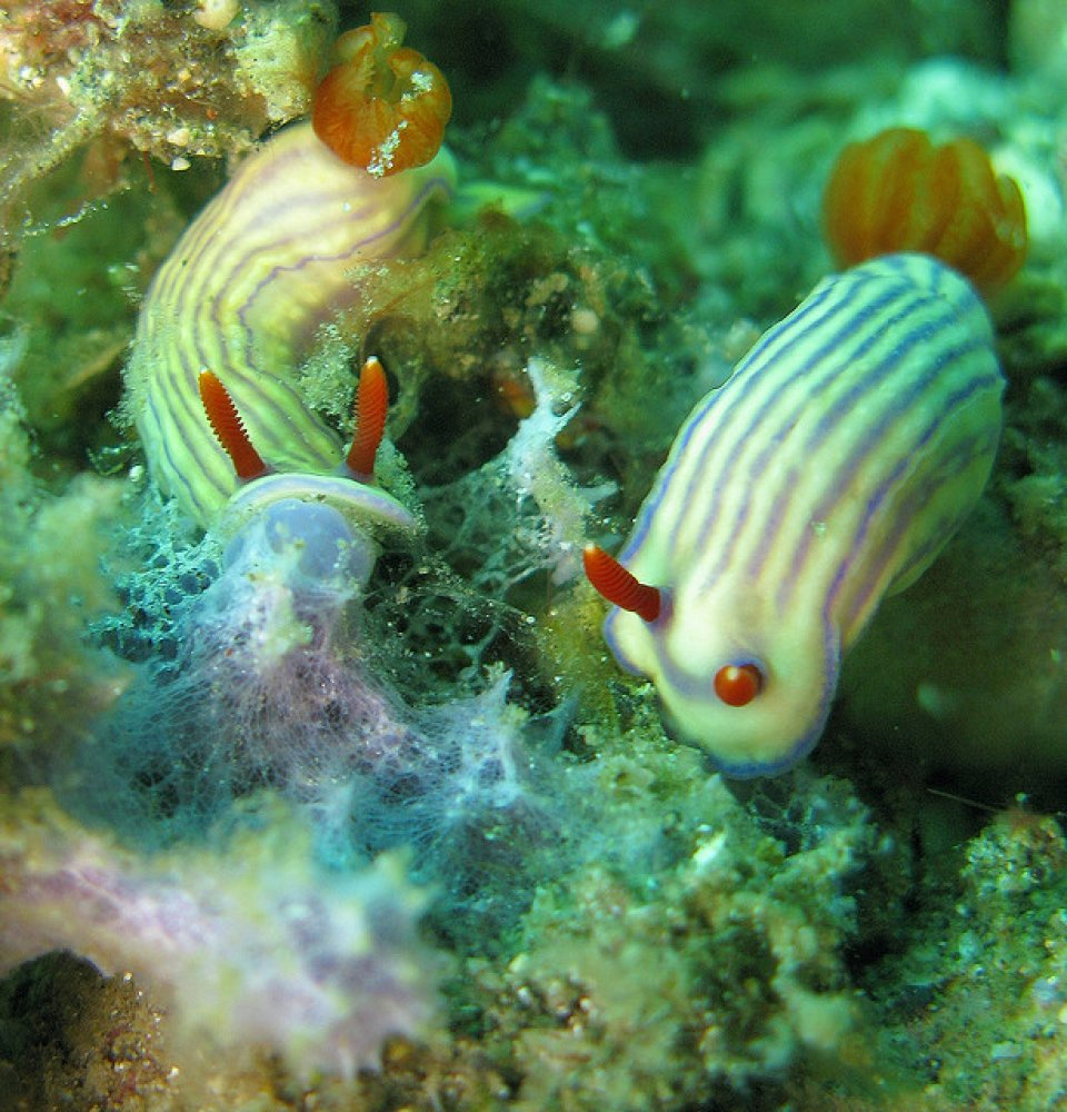 two nudis in lembeh