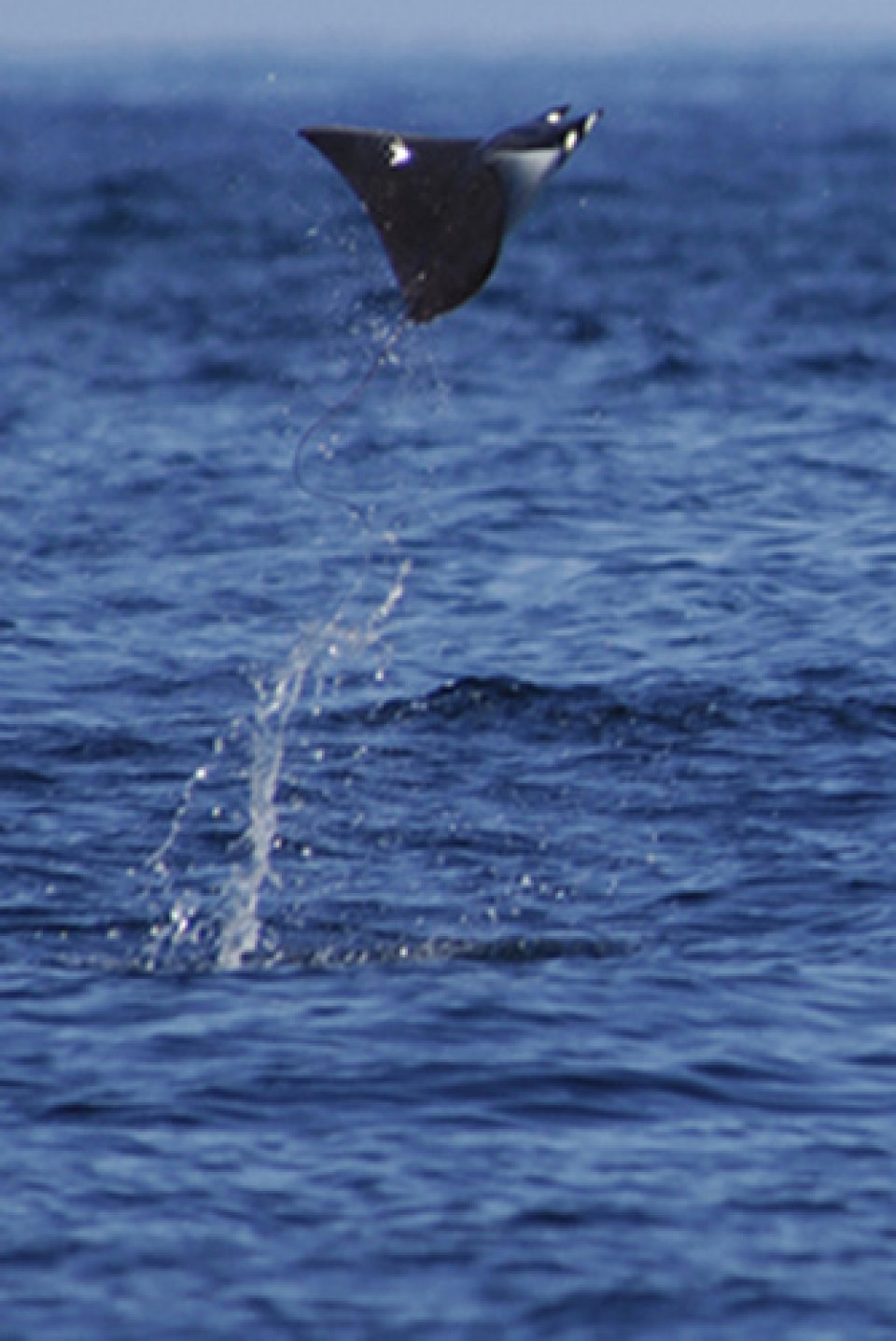 Jumping Devil Ray