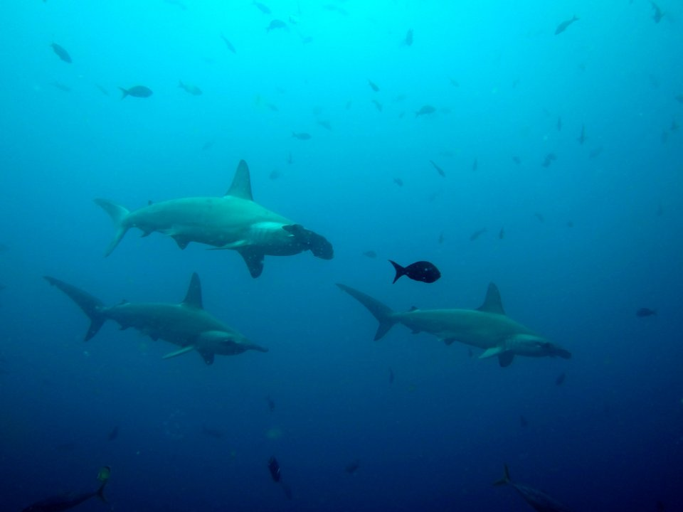 Hammerheads in Galapagos