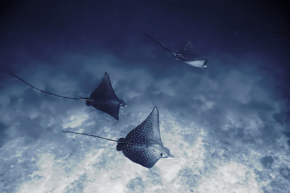 Eagle Rays at Baa Atoll