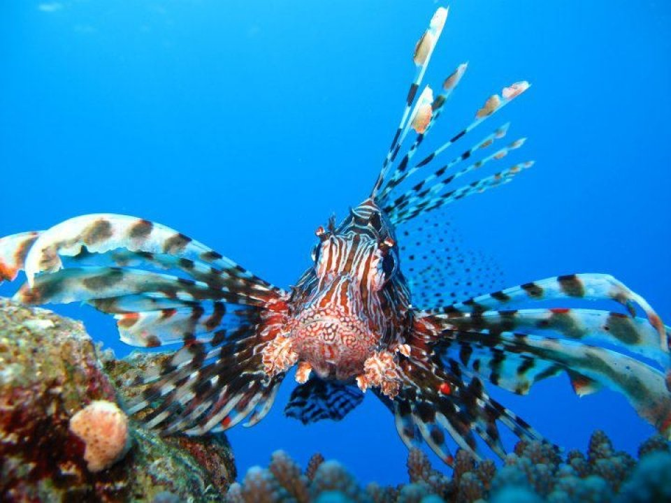 Lion Fish in Ras Mohammed