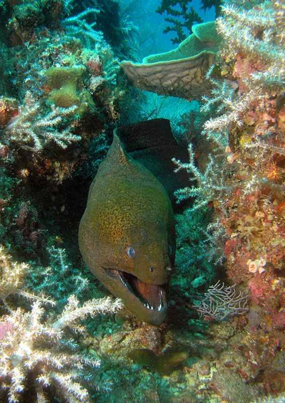 Giant Morray Eel at Chebeh Island dive site