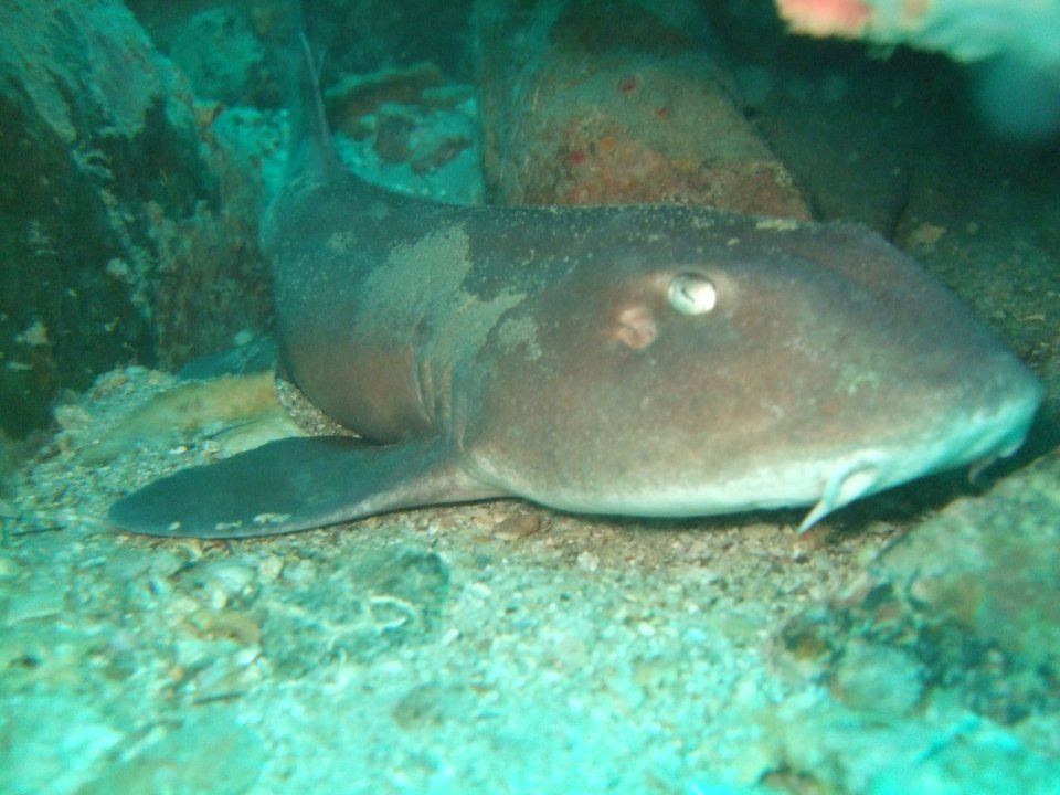 Bamboo Shark at Temple