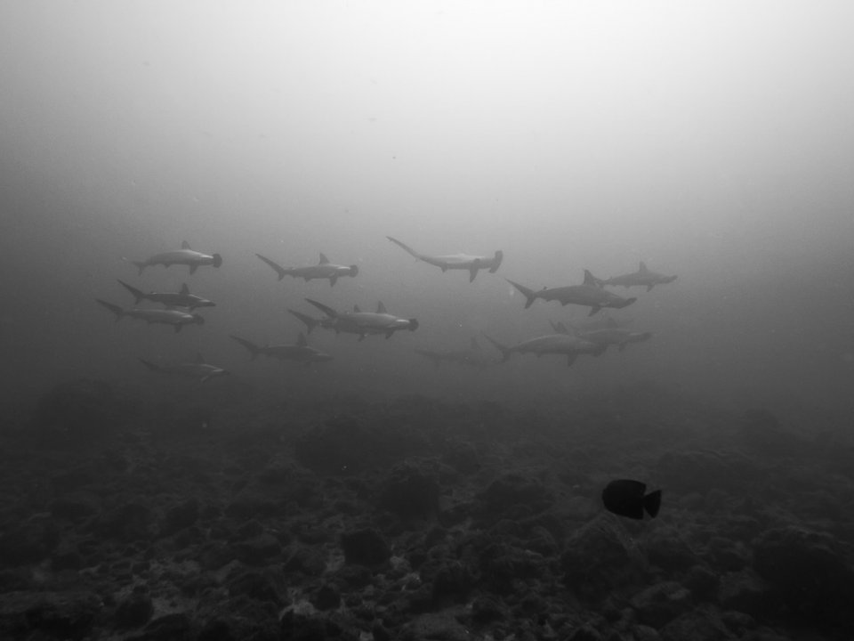 School of Hammerhead Sharks